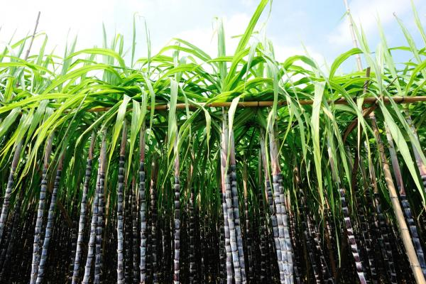 sugarcane growth with filter mud compost fertilizer